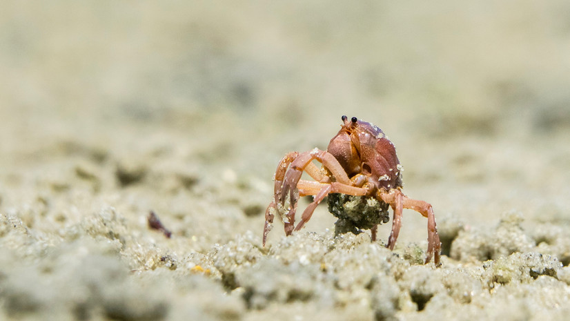 Litte crab walking-Mini crab on beach-Fl