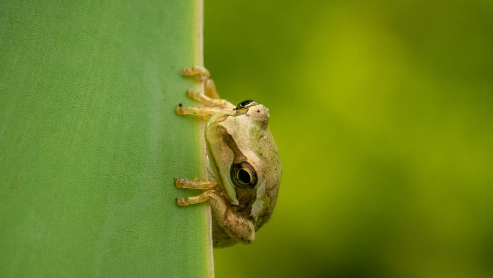 Treefrog holding onto leaf-Treefrog Tasm
