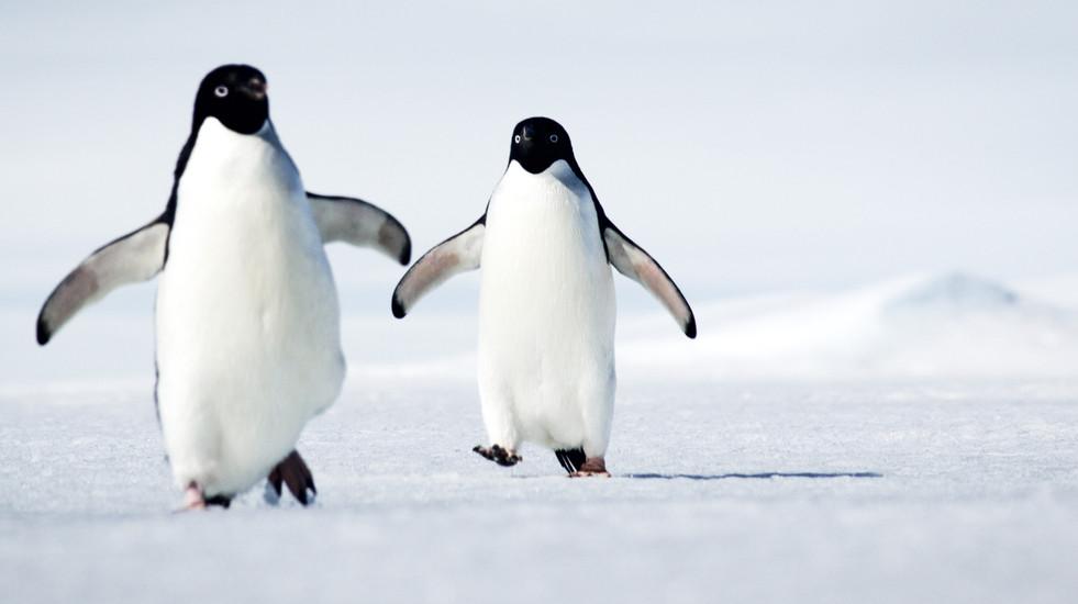 Two penguins walking-Penguin chase-Adeli