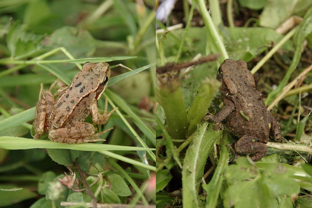 Frog and toad from the seeded meadow in Eastfield Park