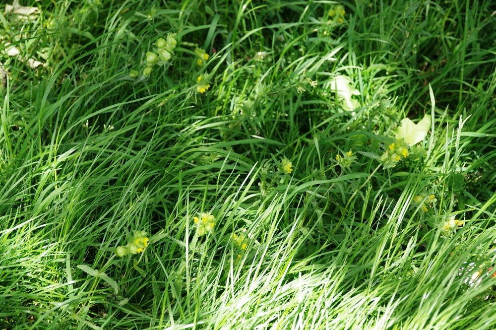 Yellow rattle in the Eastfield Park Planted Meadow, May 2020.
