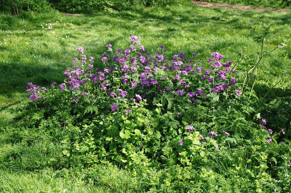 Self-seeded honesty (Lunaria annua) in the Eastfield Park meadow extension, April 2020
