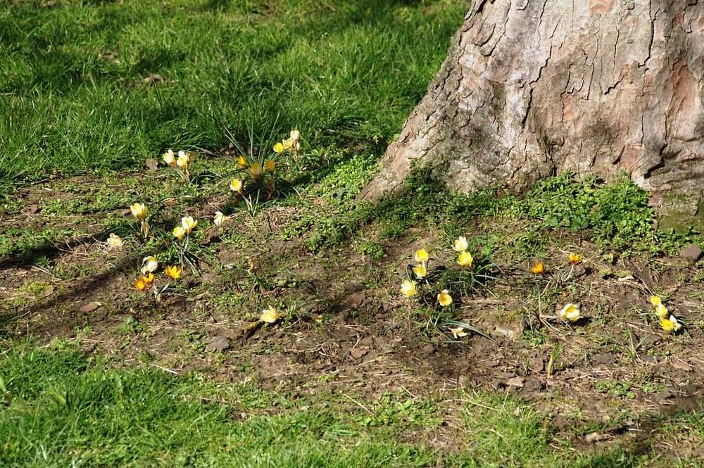 Crocus in Eastfield Park meadow extension - March 2020