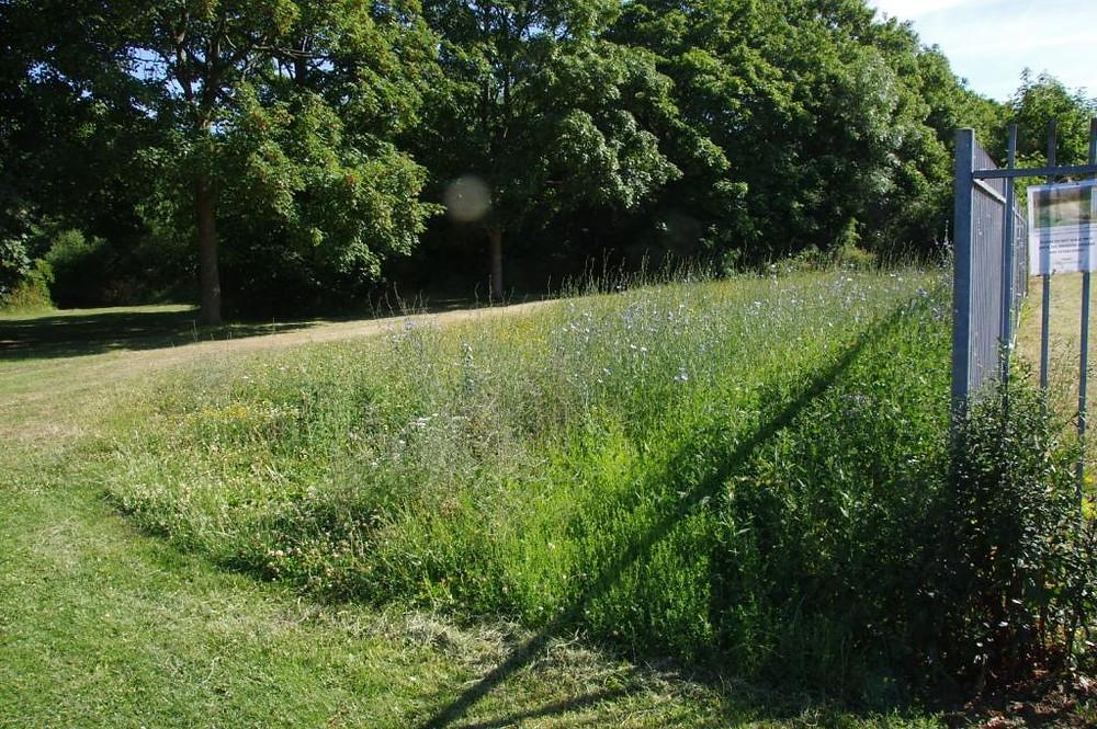 Seeded Meadow in Eastfield Park - July 2017