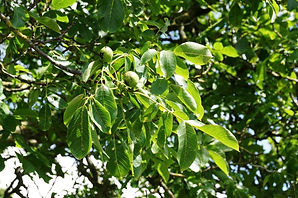 Walnut leaves and fruit