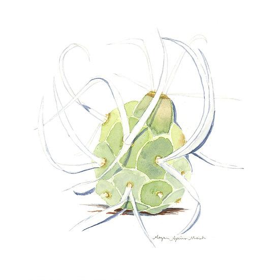 Paper Spine Cactus, Desert Plant Series