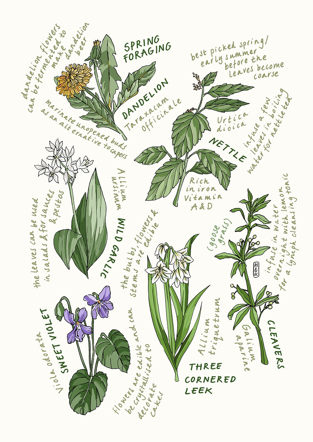 Seasonal Eating in Spring; Dandelion, Nettle, Wild Garlic, Sweet Violet, Three Cornered Leek, Cleavers