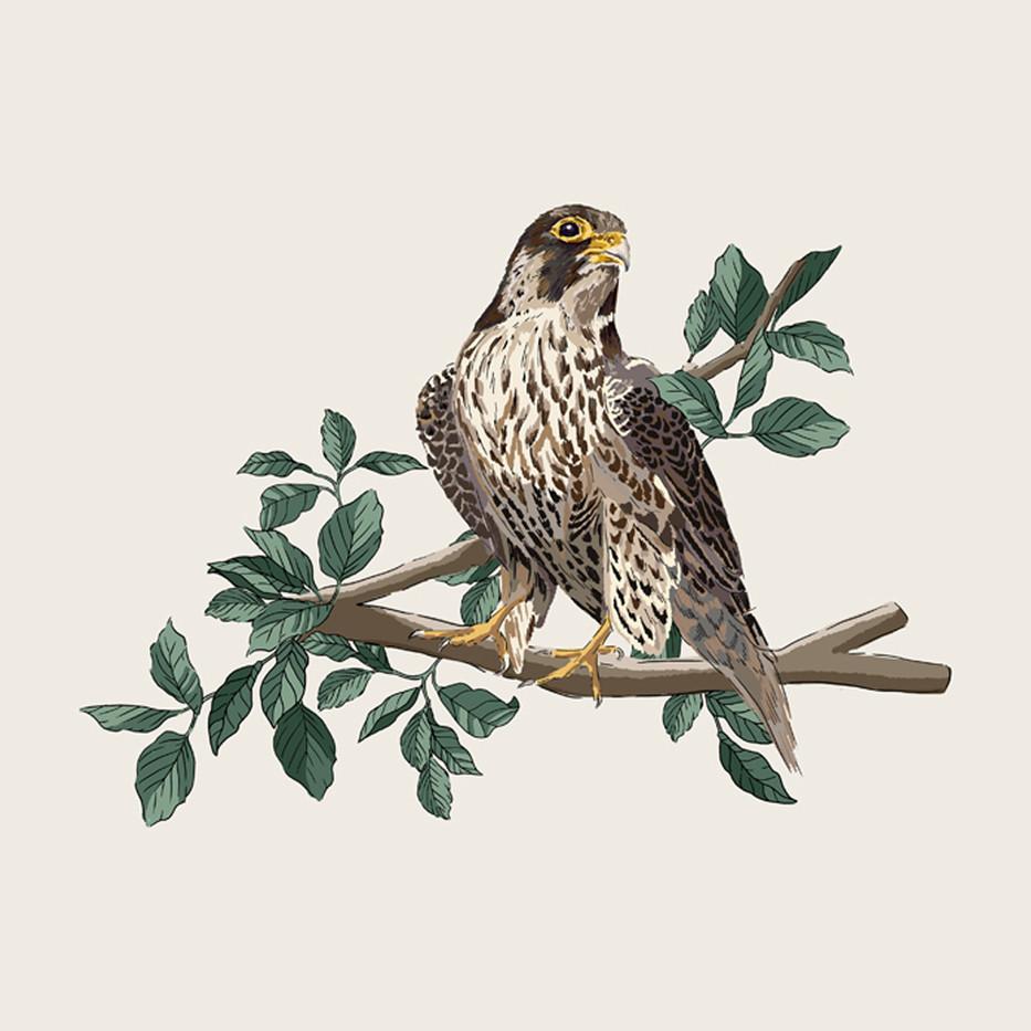 Henry's Falcon