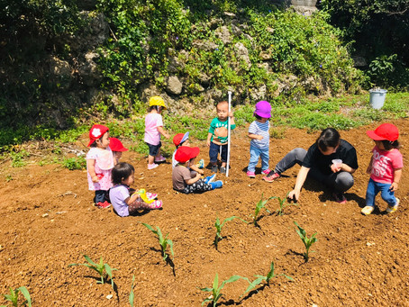 トウモロコシを植えたよ!