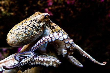 Pieuvre, Poulpe, Pouffre : un animal qui fait couler beaucoup d'encre