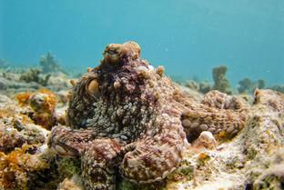 Les poulpes et leur incroyable camouflage : explication sur ce phénomène
