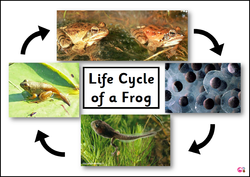 Frog Life Cycle Poster