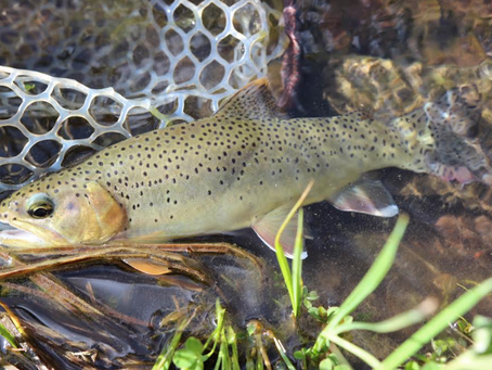 Southwest Quest: A Native Trout Odessy
