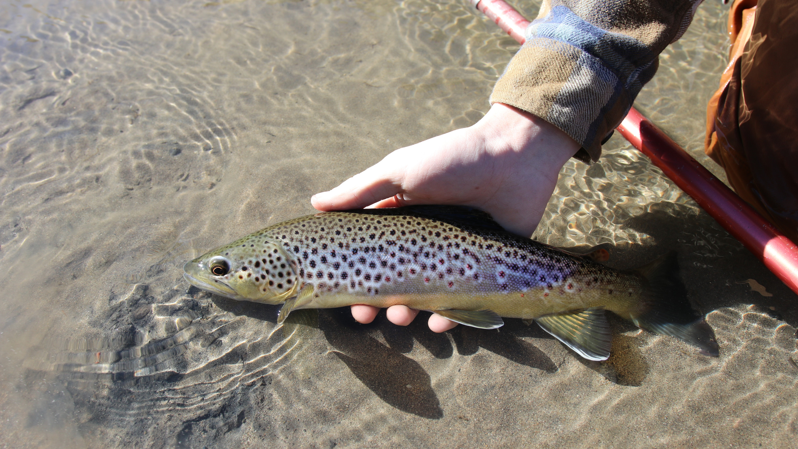 This December brown trout fell to a Walt's Worm nymphed through a slow deep run.