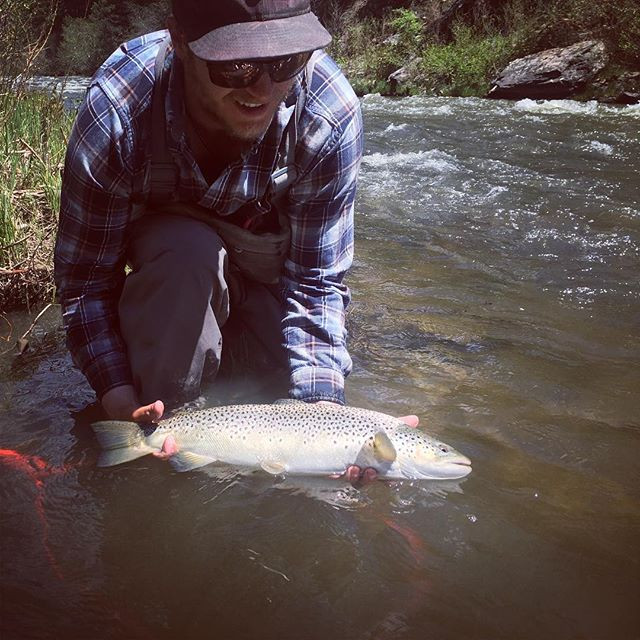 A New Mexico brown trout fooled using European Nymphing Tactics.