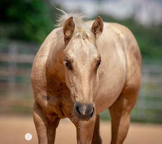 Breeding Reining Horses