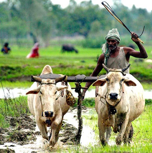 farmer beating cows