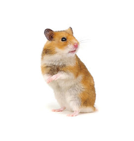 Hamster funny isolated on white backgrou