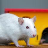 White funny domestic pet rat near yellow