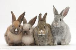 29346-Four-baby-rabbits-white-background