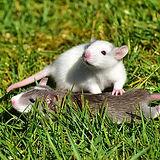 rats-small-rats-1388830__340.jpg