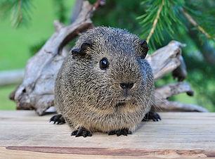 guinea-pig-542917__340.jpg