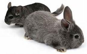 Rabbit & Chinchilla.jpg