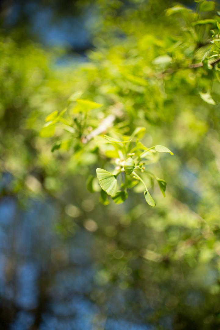 Gingko Tree at Alexandra Park