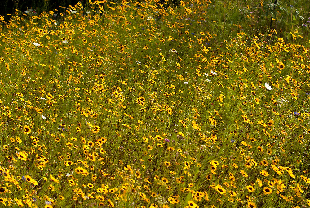 Coreopsis Meadow Planting at Sissinghurst, Garden Photography by Georgina Cook