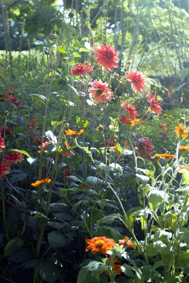 Hot coloured Dahlia's
