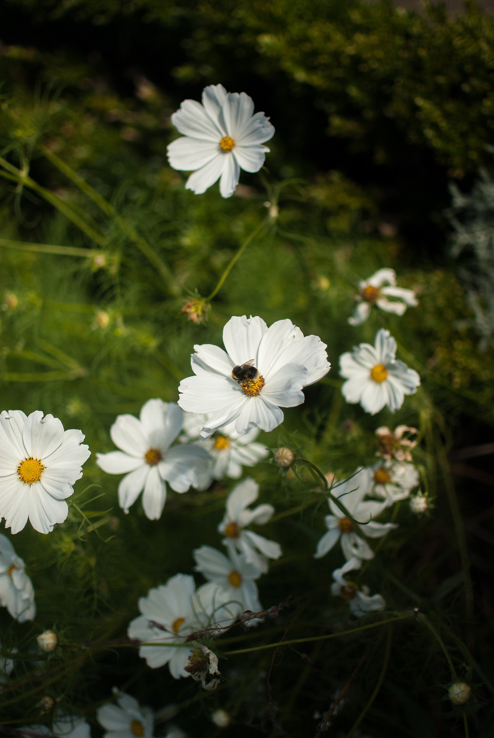 A bee & Cosmos flower in the White Garden at Sissinghurst by Georgie Cook, Gingko Photography