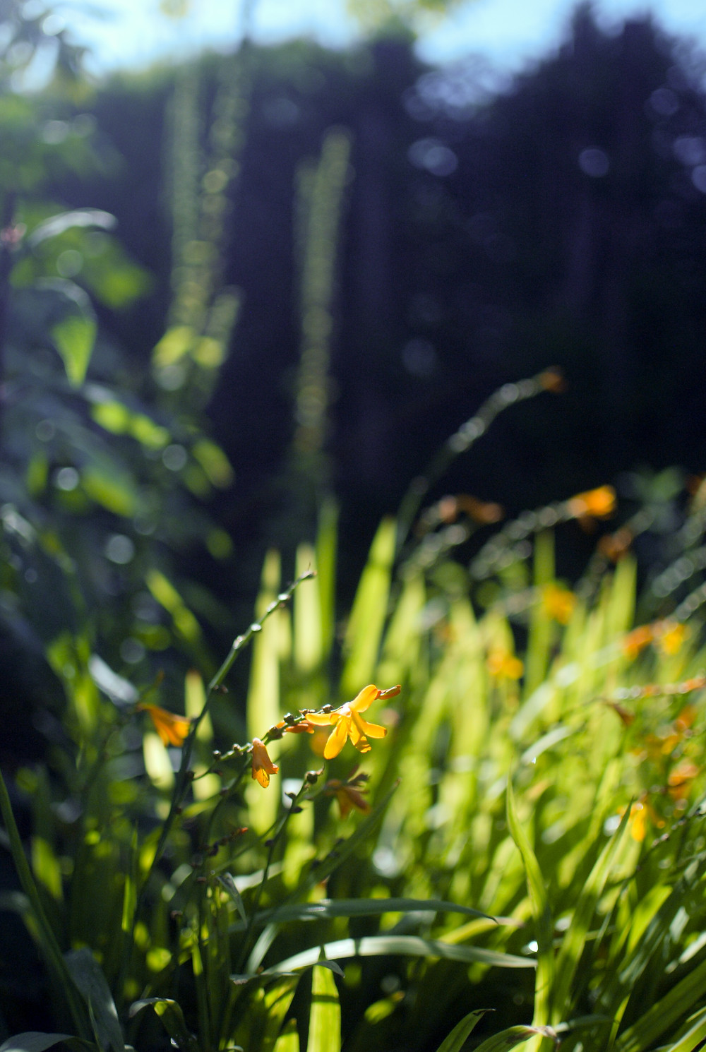 Crocosmia, Sissinghurst, by Gingko Photography