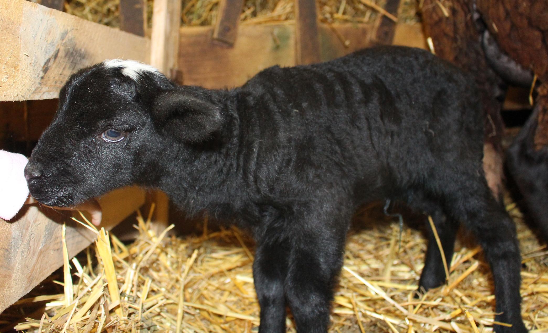agneau1