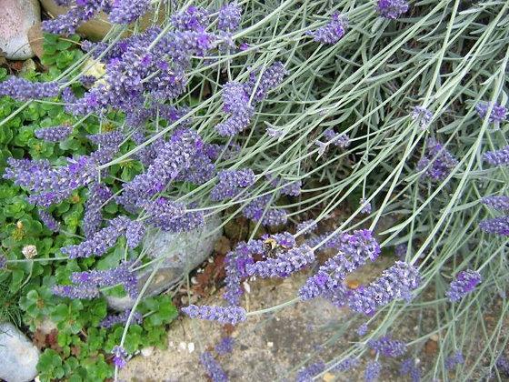 Lavender - Lavandula angustifolia - 15 mL