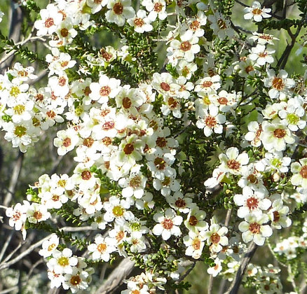 Tea Tree - Meleleuca alternifolia - 15 mL