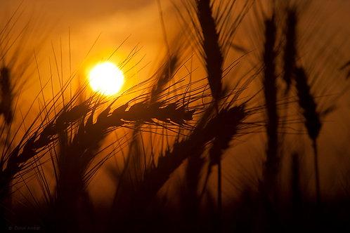 שיבולים ושמש/Sheaves and sun