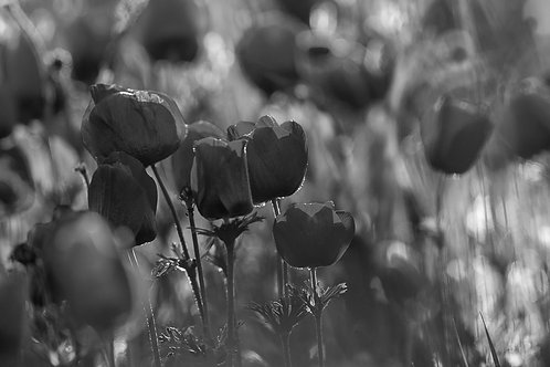 B&W flowers-פרחים ש/ל