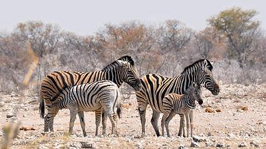 zebra-1170161_1920.jpg