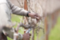 Detail of worker pruning California wine