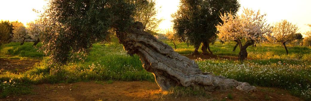 Оливковые рощи в Апулии, гид в Апули