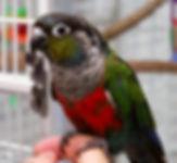 Crimson-bellied-Conure_3418_960.jpg