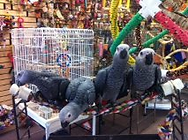 African Greys,Parrots,Senegals,cages,toys,Conures,Cockatoo,pets,pet birds,parrot stands,manzanita,lovebirds,parakeets