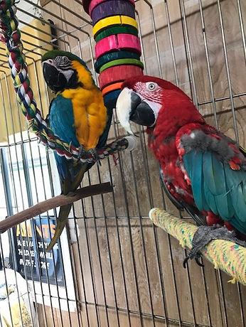 Macaw pair.jpg