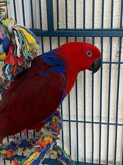 Lucy the eclectus2.jpg