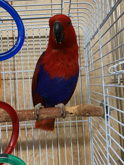 Lucy the eclectus.jpg