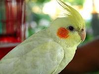 Pet store,pet stores,birds,cockatiel,pet birds