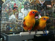 Sun Conures,baby birds,Parrots,Conures,exotic birds,cages,Harrison's,seed,toys