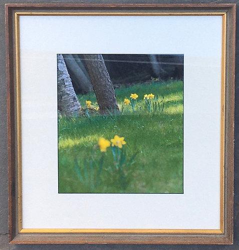 Daffodil Photograph