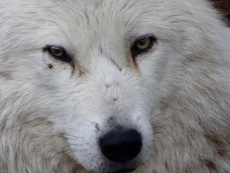 Une rencontre inédite avec le grand méchant loup