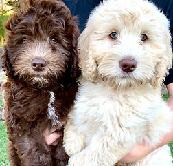 available labradoodle puppy washington